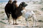 weinende-kamel